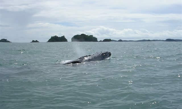 Whale watching in the Chiriqui Gulf around Isla Palenque